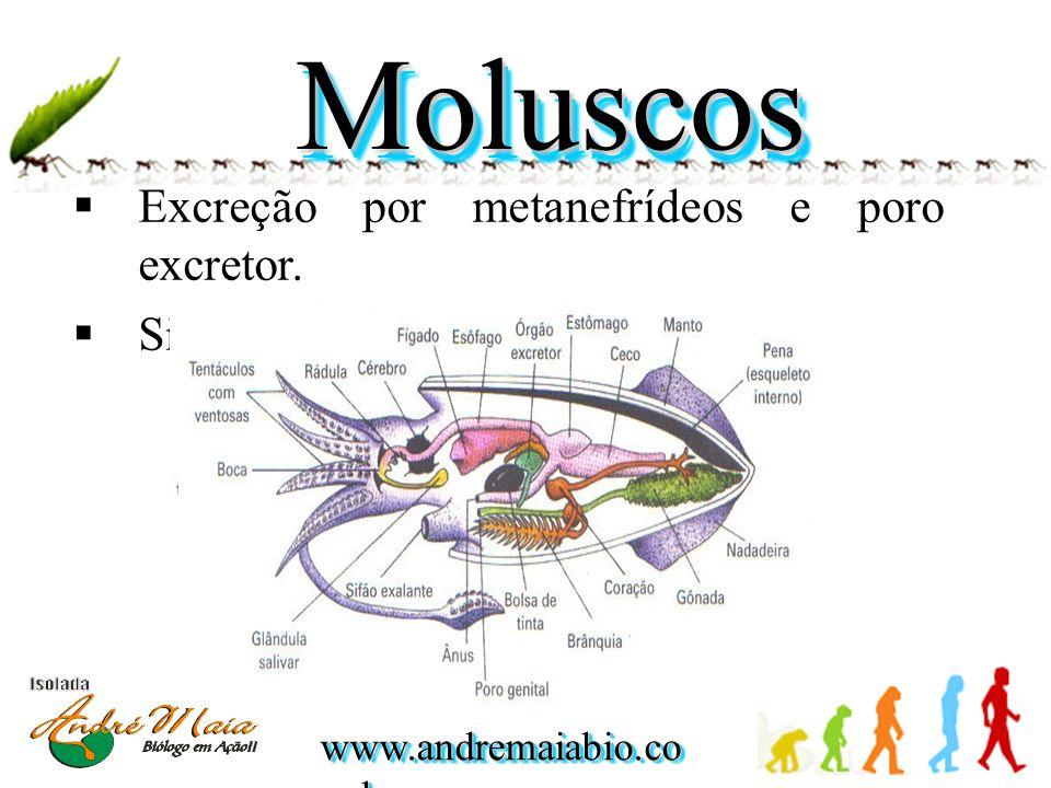 Moluscos Excreção por metanefrídeos e poro excretor.