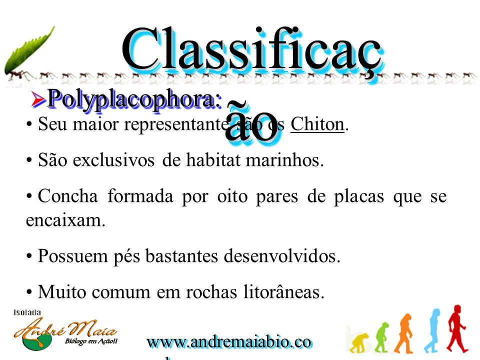 Classificação Polyplacophora: Seu maior representante são os Chiton.
