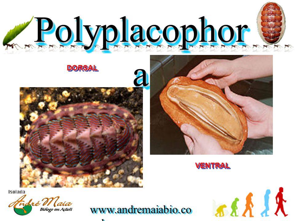 Polyplacophora DORSAL VENTRAL