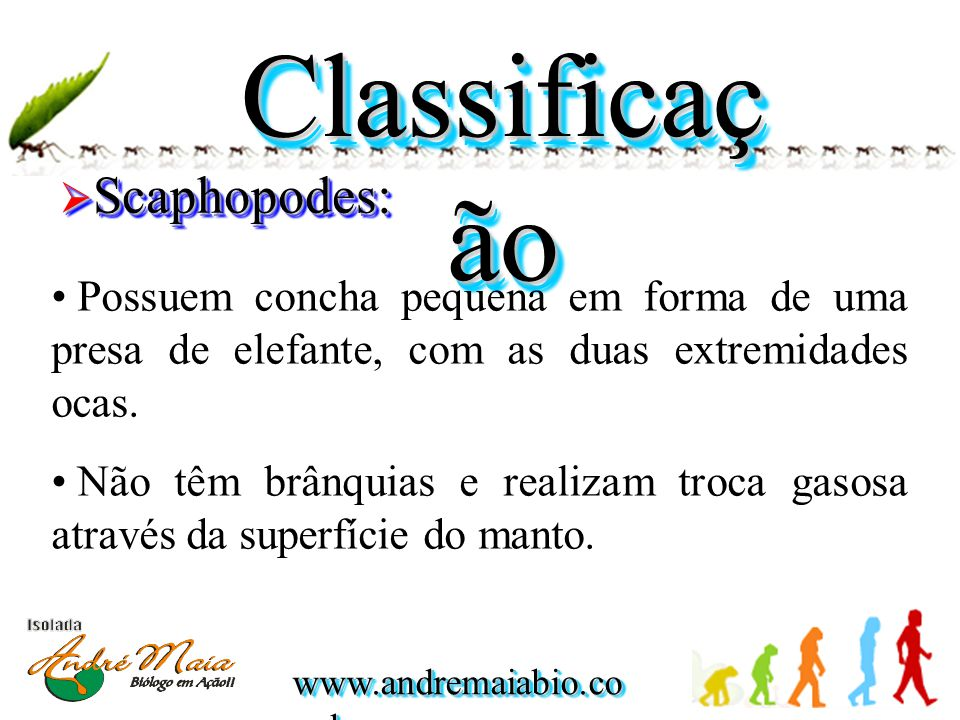 Classificação Scaphopodes: