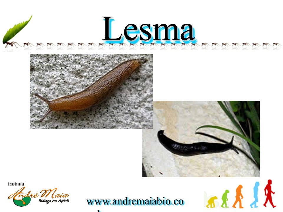Lesma