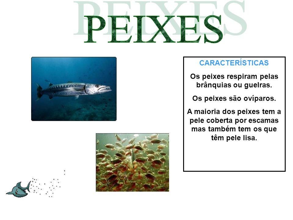 Os peixes respiram pelas brânquias ou guelras.