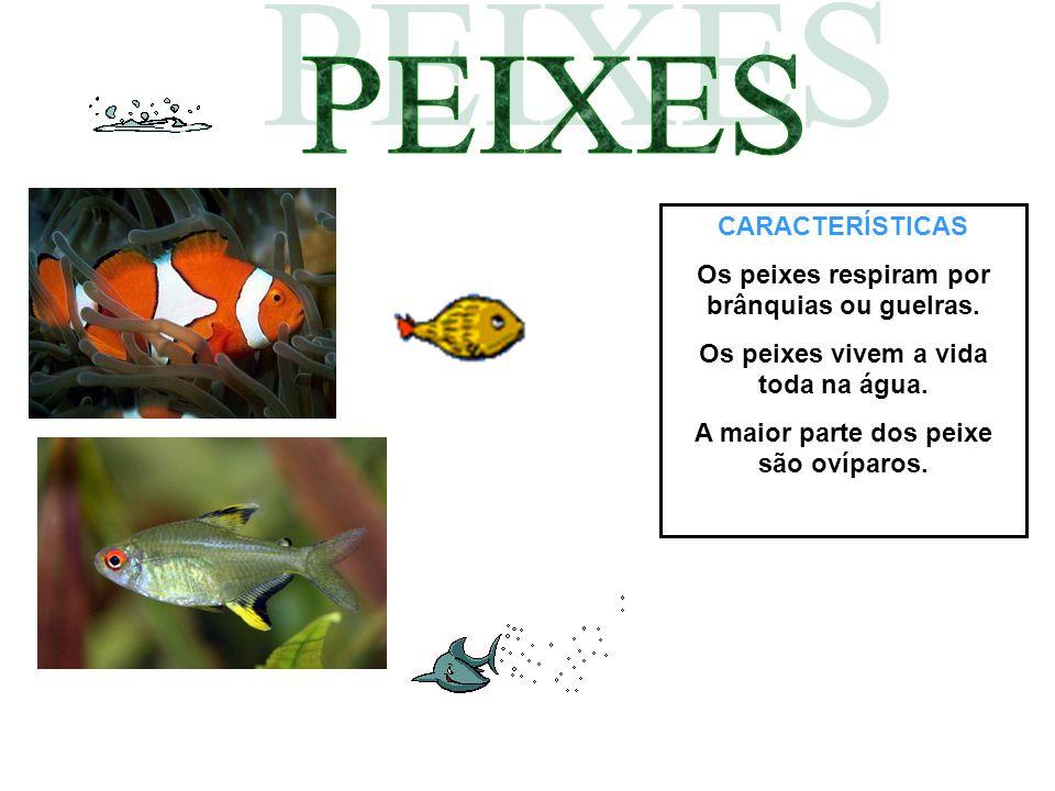 PEIXES CARACTERÍSTICAS Os peixes respiram por brânquias ou guelras.