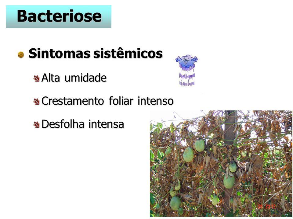Bacteriose Sintomas sistêmicos Alta umidade Crestamento foliar intenso