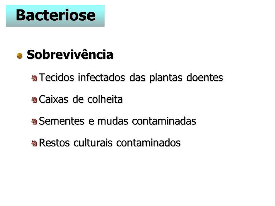 Bacteriose Sobrevivência Tecidos infectados das plantas doentes