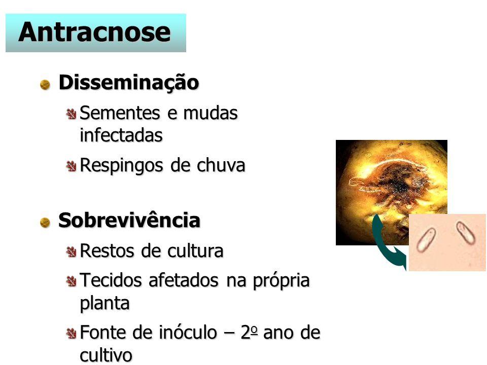 Antracnose Disseminação Sobrevivência Sementes e mudas infectadas