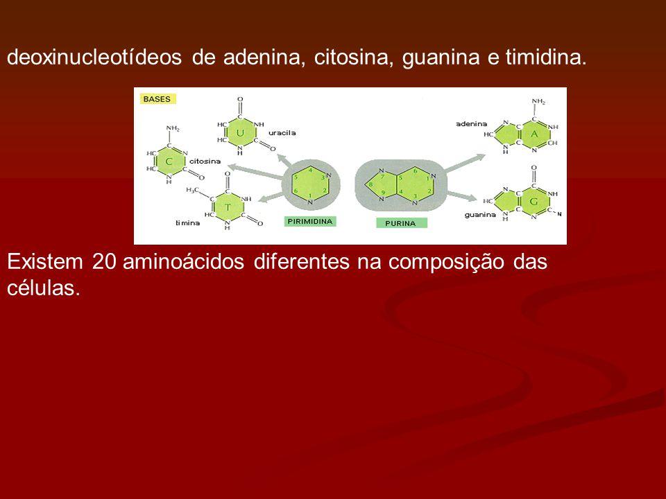 deoxinucleotídeos de adenina, citosina, guanina e timidina.