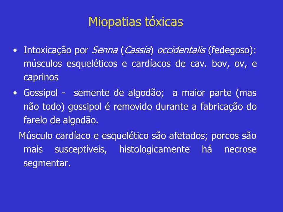 Miopatias tóxicas Intoxicação por Senna (Cassia) occidentalis (fedegoso): músculos esqueléticos e cardíacos de cav. bov, ov, e caprinos.