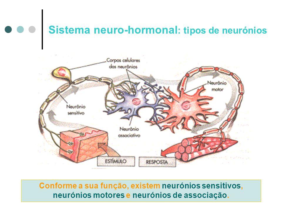 Sistema neuro-hormonal: tipos de neurónios