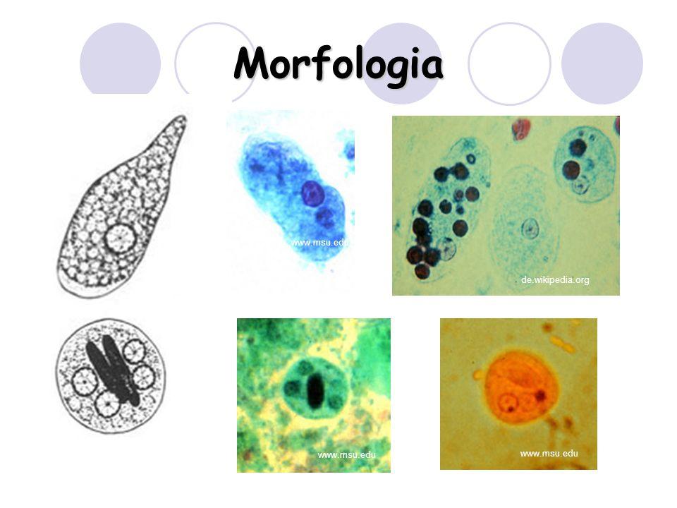 Morfologia www.msu.edu de.wikipedia.org www.msu.edu www.msu.edu