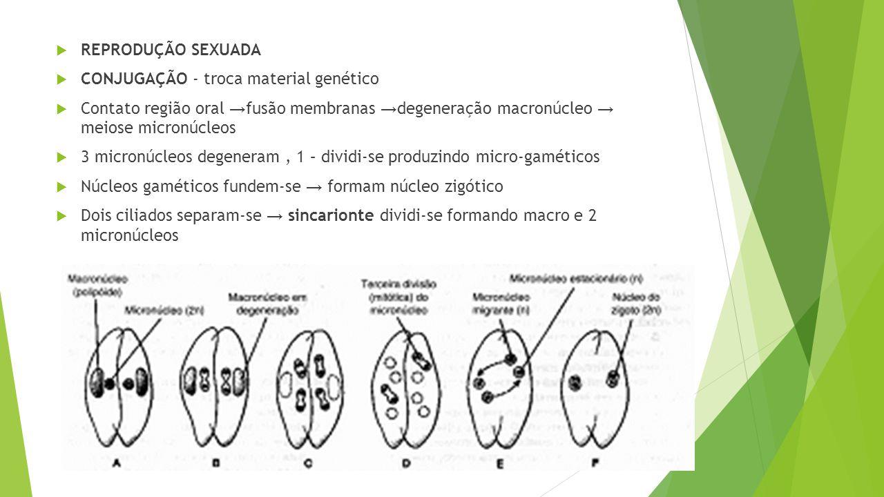 REPRODUÇÃO SEXUADA CONJUGAÇÃO - troca material genético. Contato região oral →fusão membranas →degeneração macronúcleo → meiose micronúcleos.