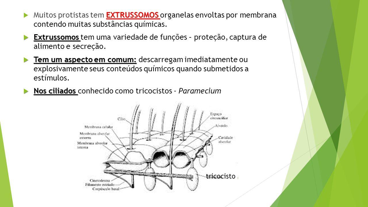 Nos ciliados conhecido como tricocistos - Paramecium