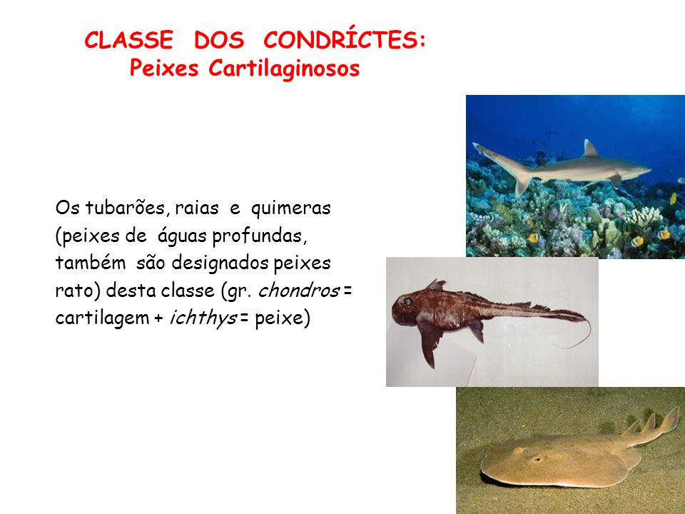 CLASSE DOS CONDRÍCTES: Peixes Cartilaginosos