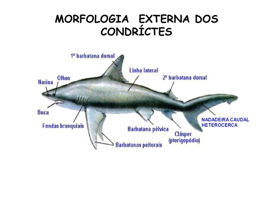 MORFOLOGIA EXTERNA DOS CONDRÍCTES