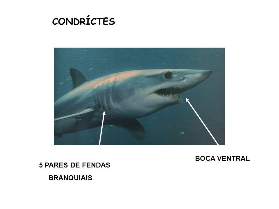 CONDRÍCTES BOCA VENTRAL 5 PARES DE FENDAS BRANQUIAIS