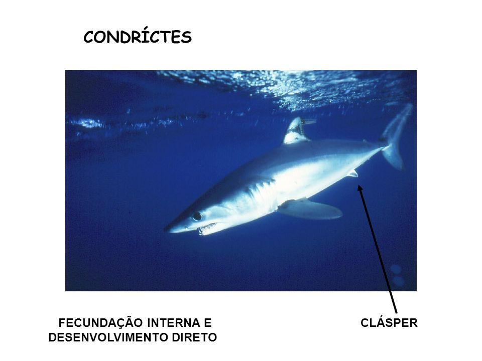 CONDRÍCTES FECUNDAÇÃO INTERNA E DESENVOLVIMENTO DIRETO CLÁSPER
