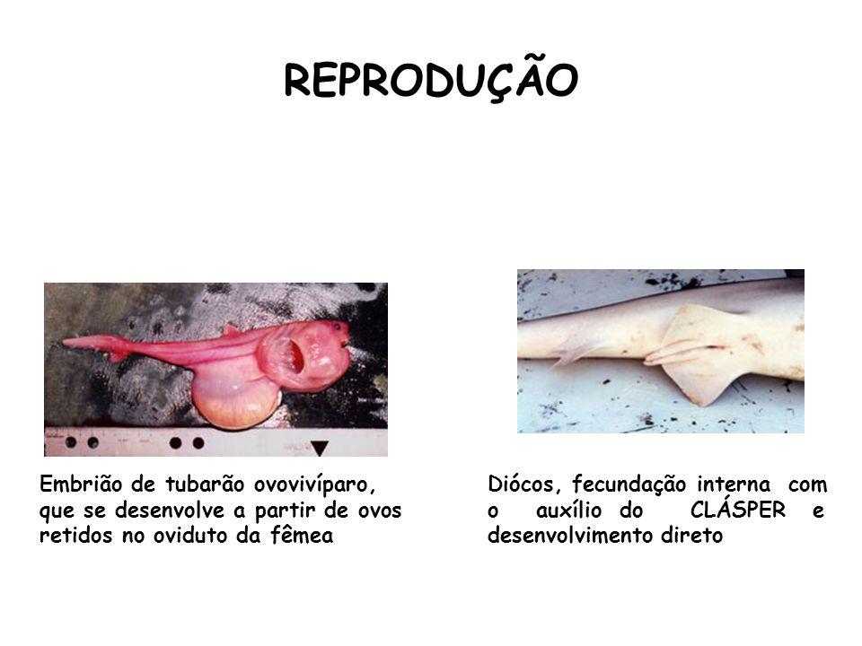 REPRODUÇÃO Embrião de tubarão ovovivíparo, que se desenvolve a partir de ovos retidos no oviduto da fêmea.