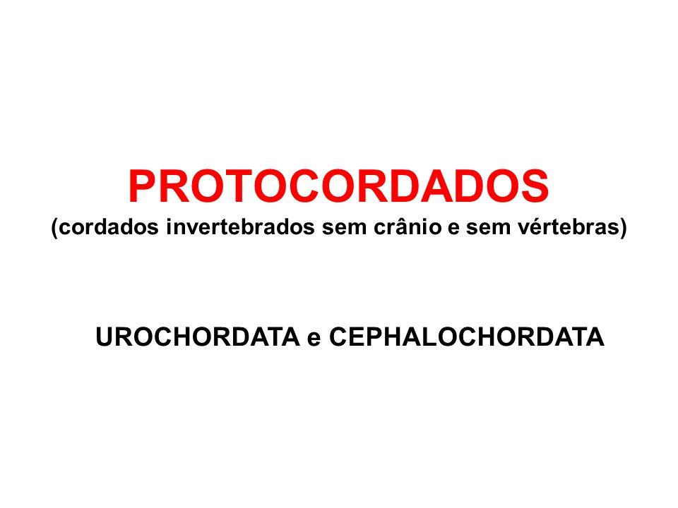 PROTOCORDADOS UROCHORDATA e CEPHALOCHORDATA