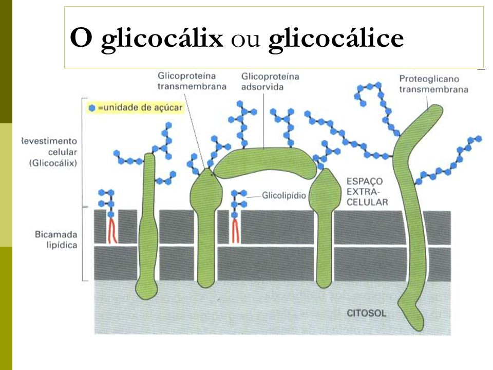 O glicocálix ou glicocálice