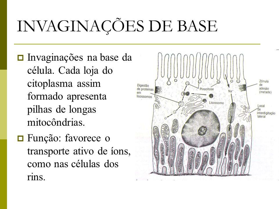 INVAGINAÇÕES DE BASE Invaginações na base da célula. Cada loja do citoplasma assim formado apresenta pilhas de longas mitocôndrias.