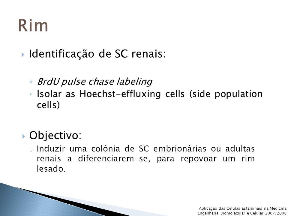 Rim Identificação de SC renais: Objectivo: BrdU pulse chase labeling