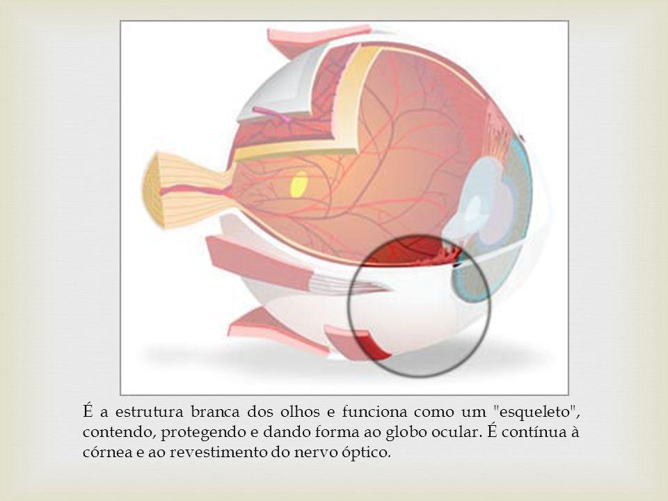 É a estrutura branca dos olhos e funciona como um esqueleto , contendo, protegendo e dando forma ao globo ocular.