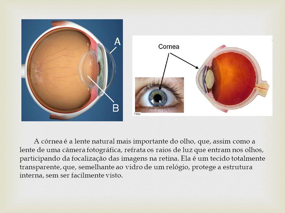 A córnea é a lente natural mais importante do olho, que, assim como a lente de uma câmera fotográfica, refrata os raios de luz que entram nos olhos, participando da focalização das imagens na retina.