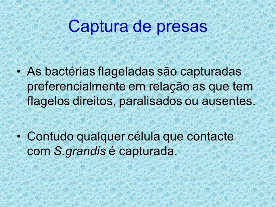 Captura de presas As bactérias flageladas são capturadas preferencialmente em relação as que tem flagelos direitos, paralisados ou ausentes.