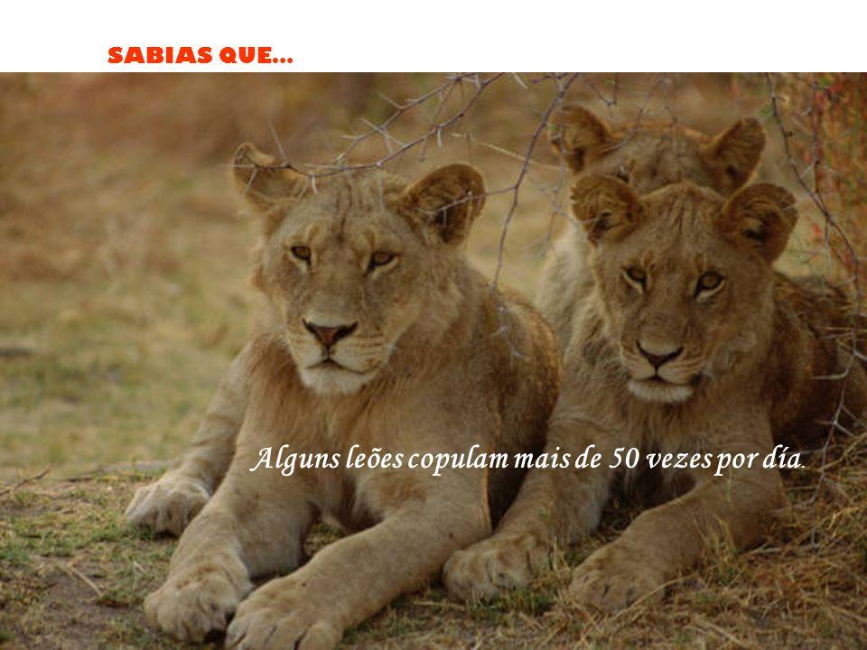 Alguns leões copulam mais de 50 vezes por día.