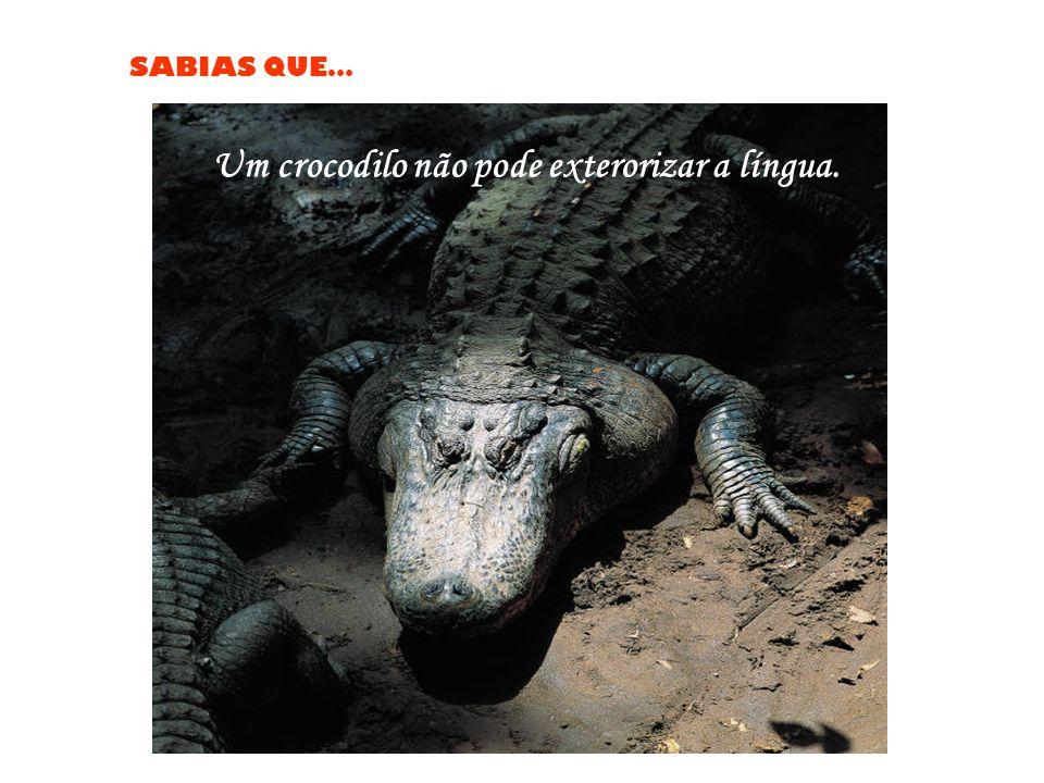Um crocodilo não pode exterorizar a língua.