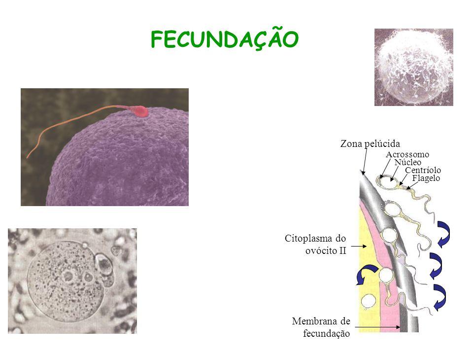 FECUNDAÇÃO Zona pelúcida Citoplasma do ovócito II