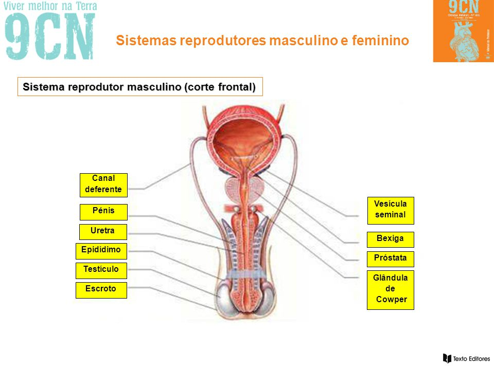 Sistema reprodutor masculino (corte frontal)