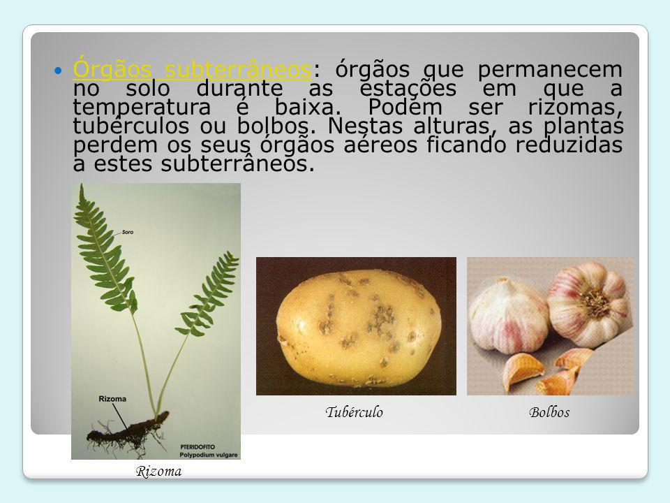 Órgãos subterrâneos: órgãos que permanecem no solo durante as estações em que a temperatura é baixa. Podem ser rizomas, tubérculos ou bolbos. Nestas alturas, as plantas perdem os seus órgãos aéreos ficando reduzidas a estes subterrâneos.