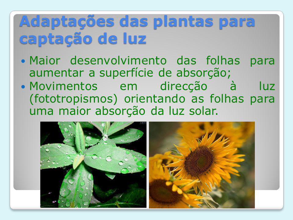 Adaptações das plantas para captação de luz