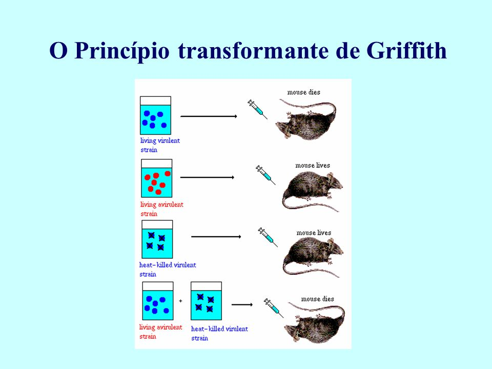 O Princípio transformante de Griffith