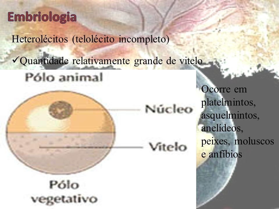 Embriologia Heterolécitos (telolécito incompleto)