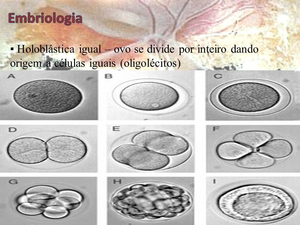 Embriologia ▪ Holoblástica igual – ovo se divide por inteiro dando origem a células iguais (oligolécitos)