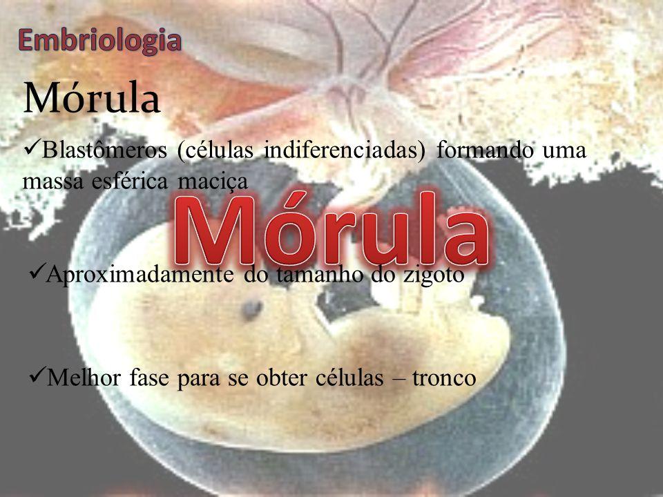 Mórula Mórula Embriologia