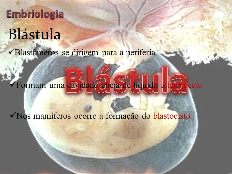 Blástula Blástula Embriologia Blastômeros se dirigem para a periferia