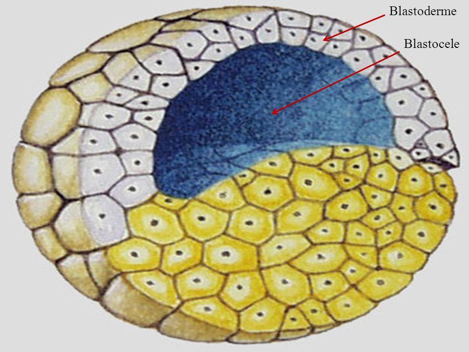 Blastoderme Embriologia Blastocele