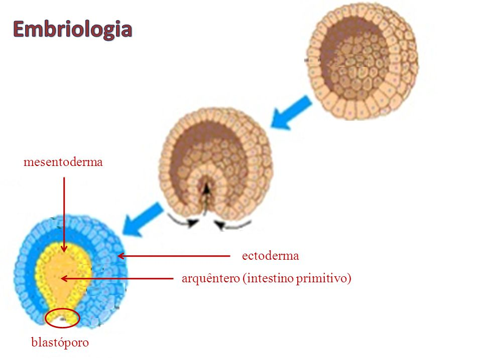 Embriologia mesentoderma ectoderma arquêntero (intestino primitivo)