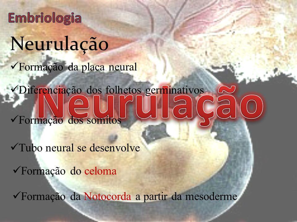 Neurulação Neurulação Embriologia Formação da placa neural