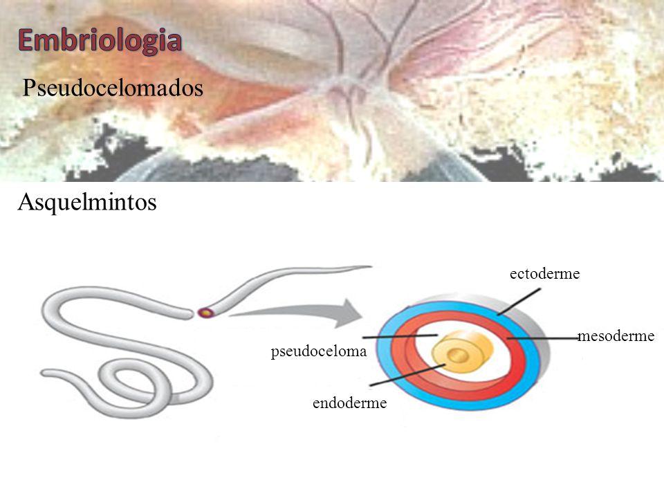 Embriologia Pseudocelomados Asquelmintos ectoderme mesoderme