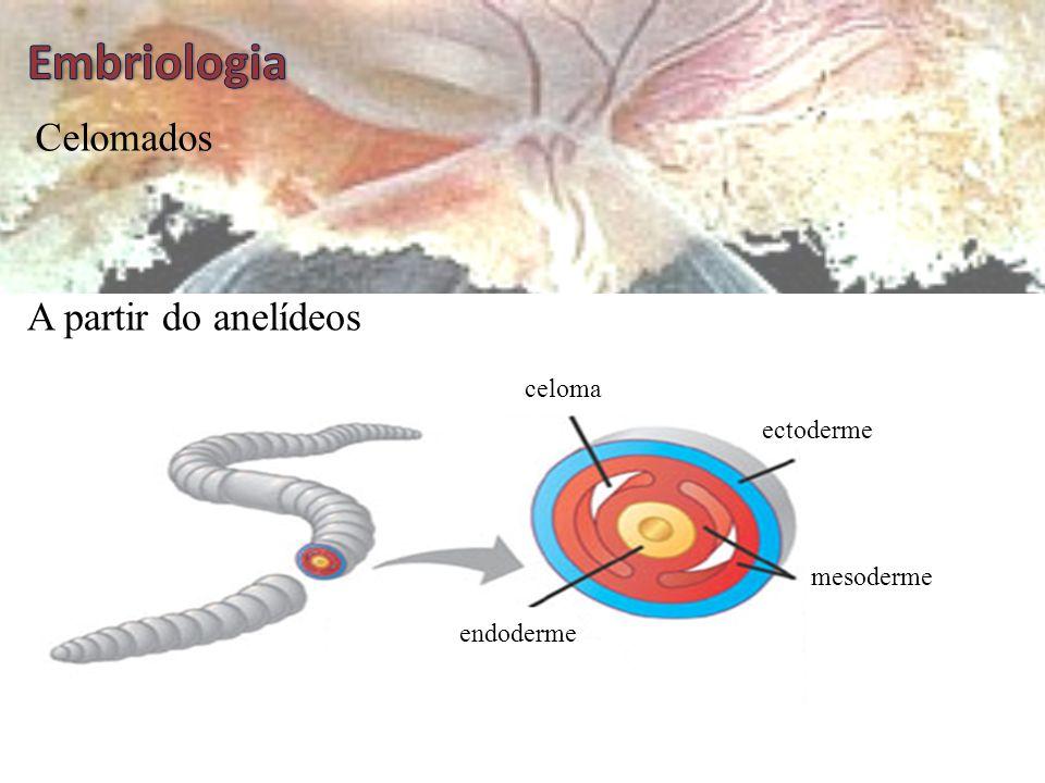 Embriologia Celomados A partir do anelídeos celoma ectoderme mesoderme