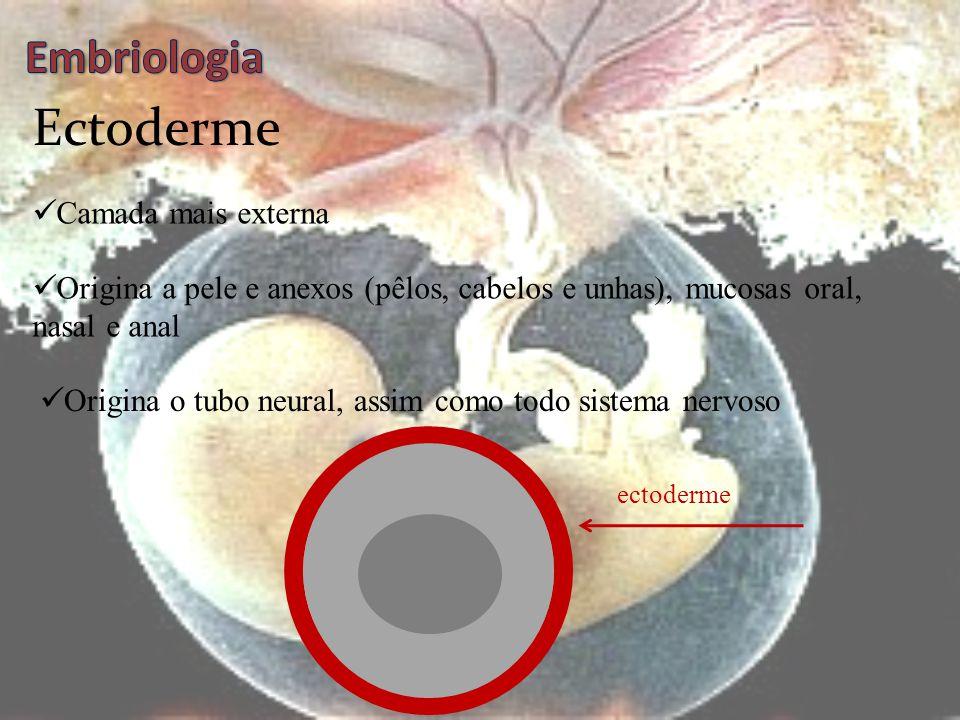 Ectoderme Embriologia Camada mais externa