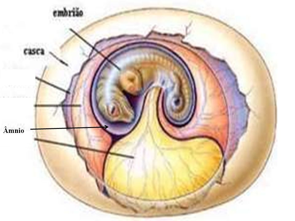 Embriologia Âmnio