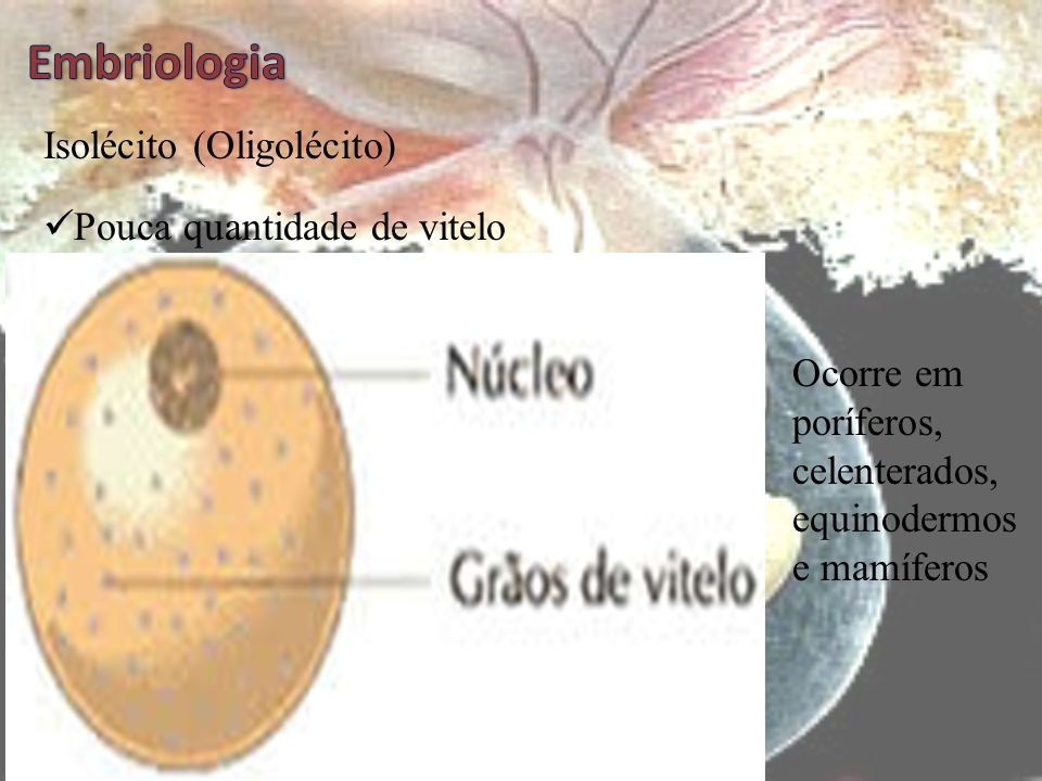 Embriologia Isolécito (Oligolécito) Pouca quantidade de vitelo