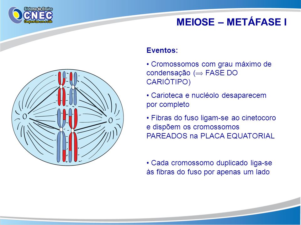 MEIOSE – METÁFASE I Eventos: