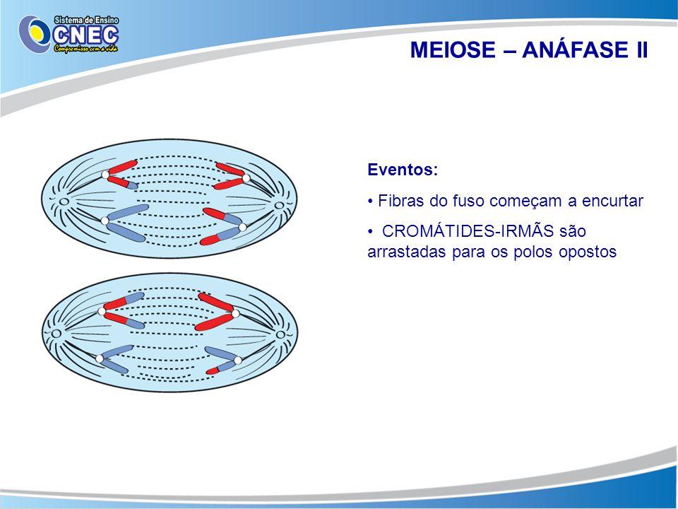 MEIOSE – ANÁFASE II Eventos: Fibras do fuso começam a encurtar