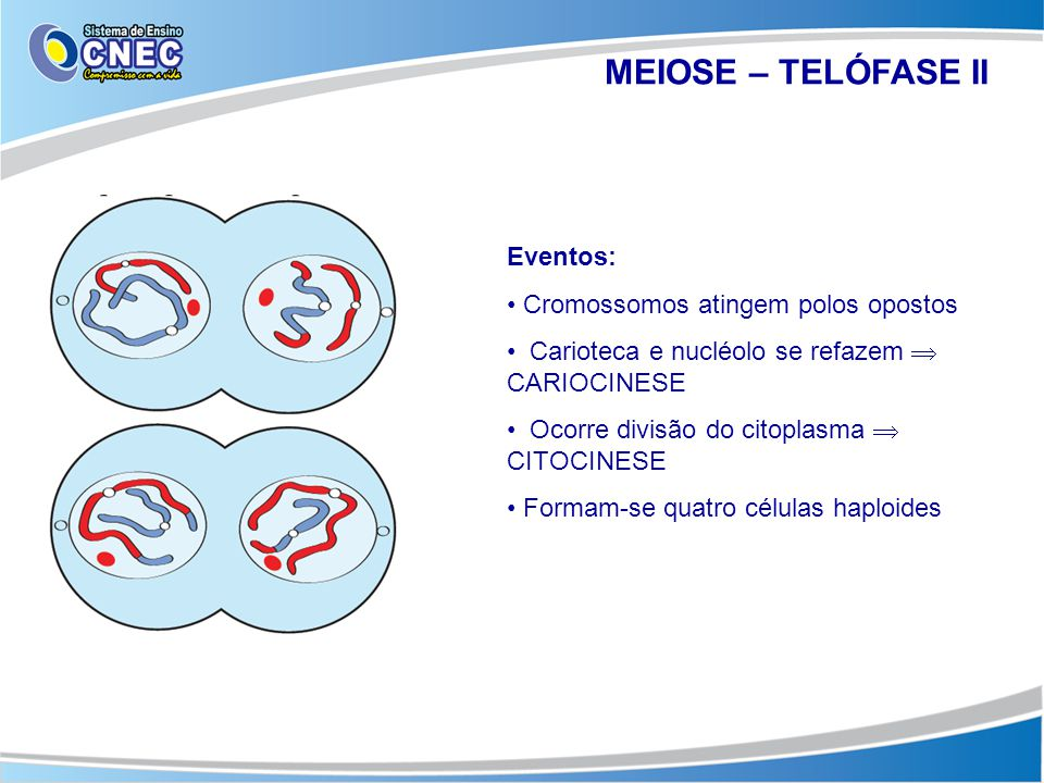 MEIOSE – TELÓFASE II Eventos: Cromossomos atingem polos opostos